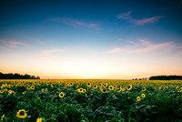 Sunflowers after Sunset