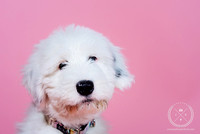 Dandelion - Puppy Photoshoot